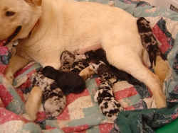 Blondie with pups